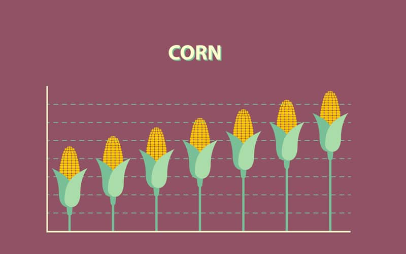 How High Can Corn Prices Soar in the Face Of Mixed Fortunes?